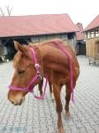 Equiva / Goldhorse Flieder