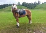 Happy Horse Shop / Elegance Navy-Royal