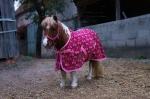 Loesdau / Pony Love Cherry