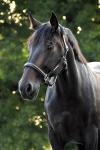 Equine Concept / Lederhalfter Vienna Braun