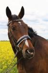 Harry's Horse / Chicque